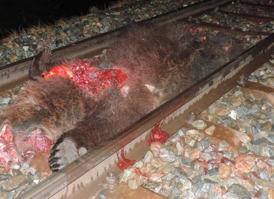 Bär von Zug erfaßt und getötet