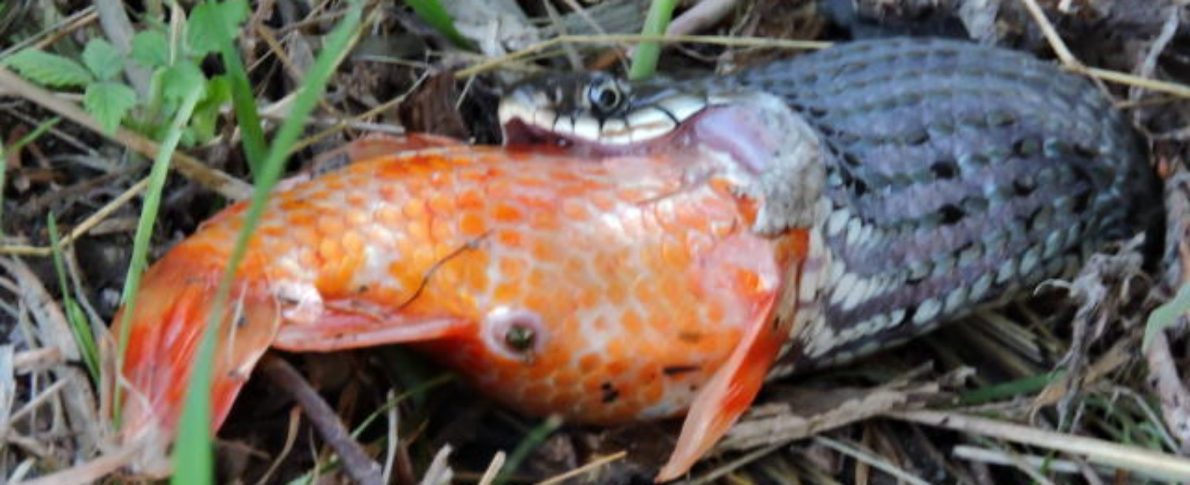 Kraß: Ringelnatter frißt großen Goldfisch in Cazis-Munté